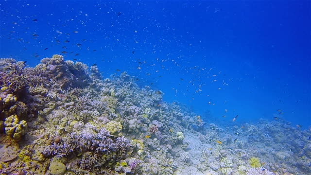 Scuba diving on coral reef with school of chromis fish in Red Sea / Marsa Alam - Egypt