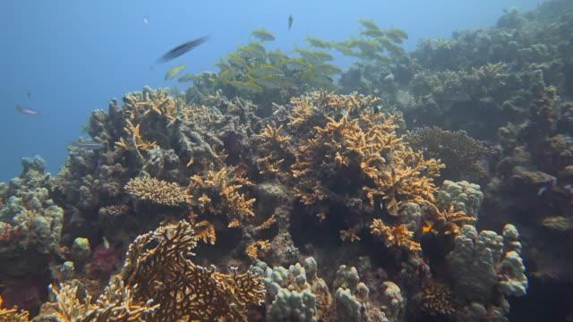 tauchen auf korallenriff mit schule von gelbflossen-ziegenfischen am roten meer - marsa alam / ägypten - meerbarbe stock-videos und b-roll-filmmaterial