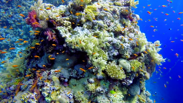 scuba diving on coral reef with sea goldie, pseudanthias squamipinnis / red sea - aquatic organism stock videos & royalty-free footage