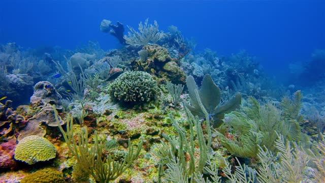 vídeos de stock, filmes e b-roll de mergulho no grande recife maya no mar das caraíbas, perto da baía de akumal - riviera maya / cozumel, quintana roo, méxico - tulum méxico