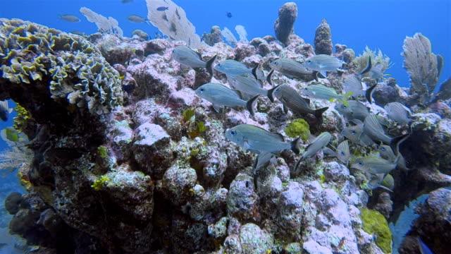stockvideo's en b-roll-footage met duiken op grote maya rif met snapper vis in de caribische zee in de buurt van akumal bay - riviera maya / cozumel, quintana roo, mexico - maya