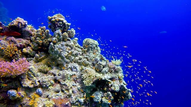 Duiken op de rode zee - onderwater zeeleven op koraal rif