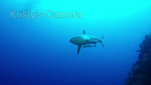 scuba diving opens doors to mysterious and beautiful worlds filled with fascinating and, sometimes intimidating creatures. sharks are among the most... - aqualung diving equipment video stock e b–roll