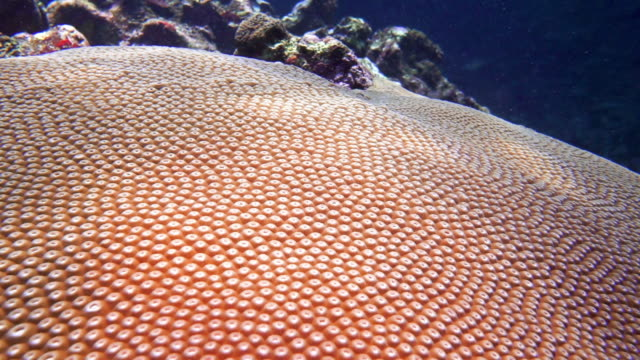 scuba diving over brain coral (diploastrea heliopora) on coral reef - natural pattern stock videos and b-roll footage