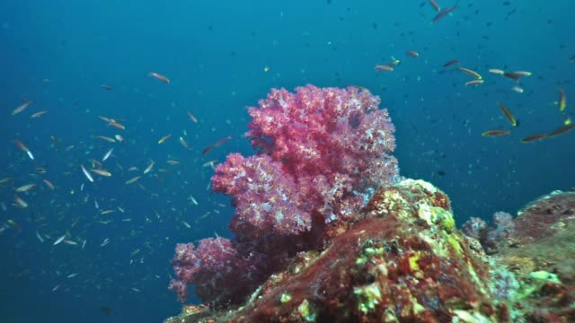 Scuba diving point of view of pristine coral reef Alcyonarian soft coral, Hin Muang, Thailand