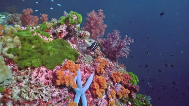 scuba diving point of view over pristine coral reef of alcyonarian soft coral, hin muang, thailand - coral stock videos & royalty-free footage