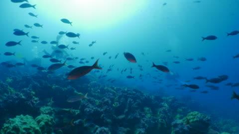 scuba diving, school of pacific creole fish, darwin island, galapagos - galapagos islands stock videos & royalty-free footage