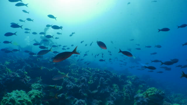 scuba diving, school of pacific creole fish, darwin island, galapagos - galapagos islands stock videos & royalty-free footage