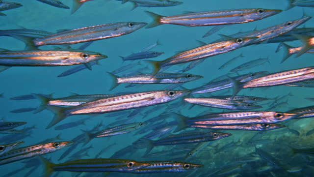 Scuba diving through underwater School of Yellowtail Barracuda (Sphyraena flavicauda)