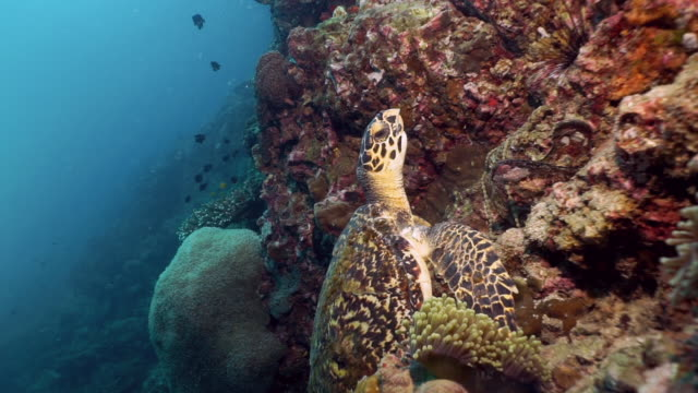 scuba diving with endangered hawksbill sea turtle (eretmochelys imbricata) - hawksbill turtle stock videos & royalty-free footage