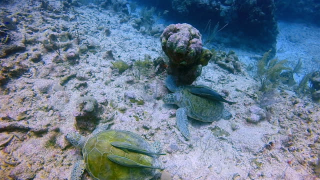 Scuba diving with Green Sea Turtle and Remora Fish in Caribbean Sea near Akumal Bay - Riviera Maya / Cozumel , Quintana Roo , Mexico