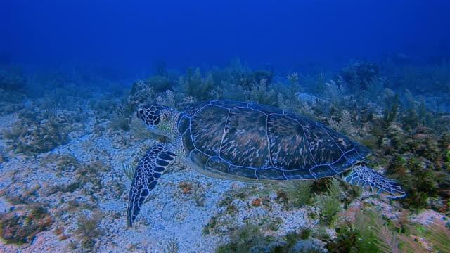 scuba diving with green sea turtle in caribbean sea near akumal bay - riviera maya / cozumel , quintana roo , mexico - mayan riviera stock videos and b-roll footage