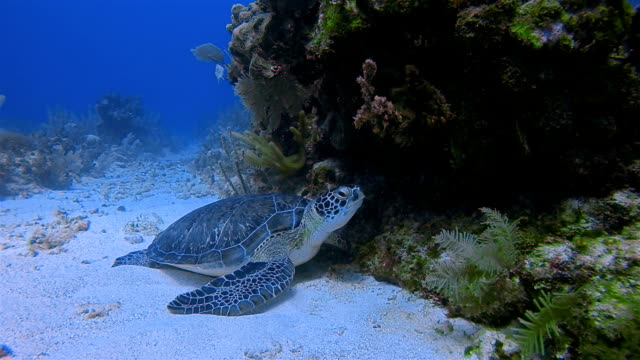 Scuba Diving with Green Sea Turtle in Caribbean Sea near by Akumal Bay - Riviera Maya / Cozumel , Quintana Roo , Mexico