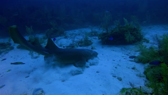 Scuba Diving with nurse sharks feeding in Caribbean Sea - Belize Barrier Reef / Ambergris Caye