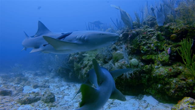 scuba diving with nurse sharks in caribbean sea - belize barrier reef / ambergris caye - reef stock videos & royalty-free footage