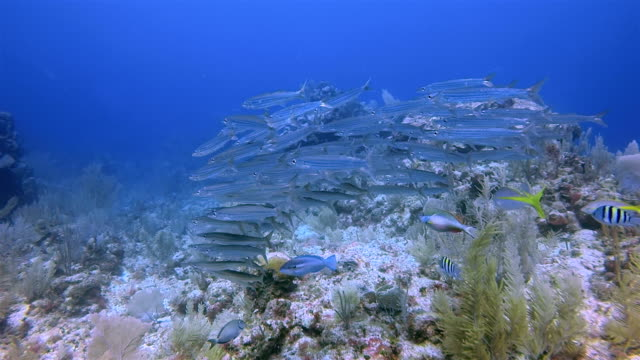 scuba diving with school of young barracuda on great maya reef in caribbean sea near akumal bay - riviera maya / cozumel , quintana roo , mexico - cozumel stock videos and b-roll footage