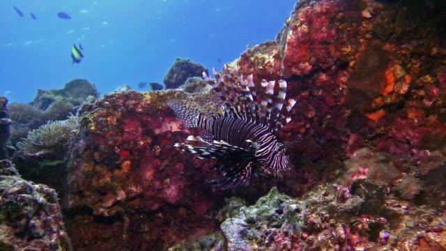 vidéos et rushes de plongée sous-marine avec sous-marin venemous lionfish aka brachydanio rerio (pterois volitans) - grâce
