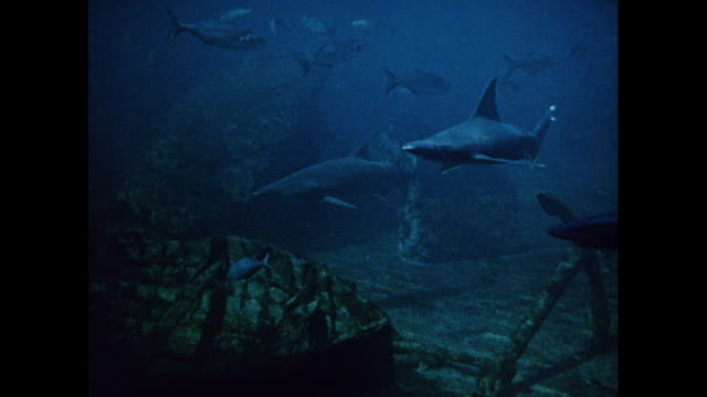 vidéos et rushes de montage scuba-diver swims with sharks, turtles, and other sea life in manly marineland in sydney / australia - himantura poisson