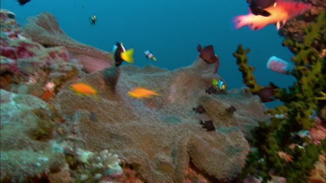vídeos y material grabado en eventos de stock de ms, sea anemone and anemone fishes, papua new guinea  - grupo mediano de animales