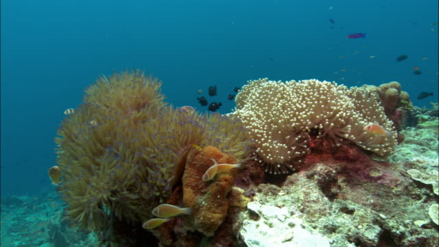 MS, Sea Anemone and Anemone fishes, Papua New Guinea