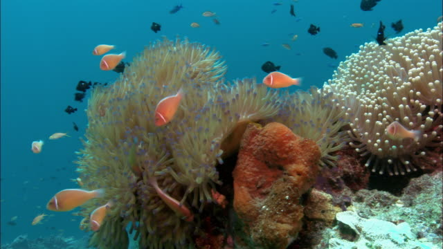 CU, Sea Anemone and Anemone fishes, Papua New Guinea