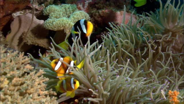 vídeos de stock, filmes e b-roll de cu, sea anemone and anemone fishes, papua new guinea  - oceano pacífico do sul