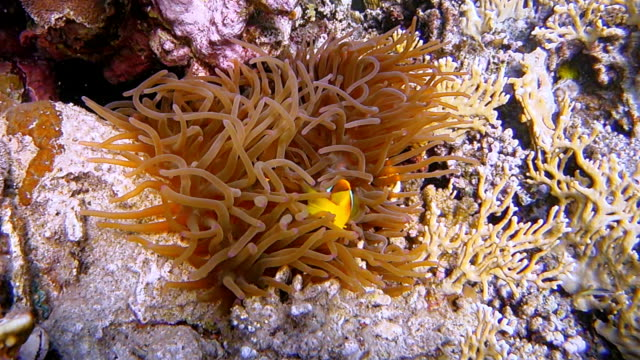 sea anemone and clownfish at red sea near marsa alam - egypt - reef stock videos & royalty-free footage