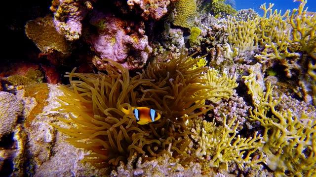 Sea anemone and Clownfish in Red Sea near Marsa Alam - Egypt