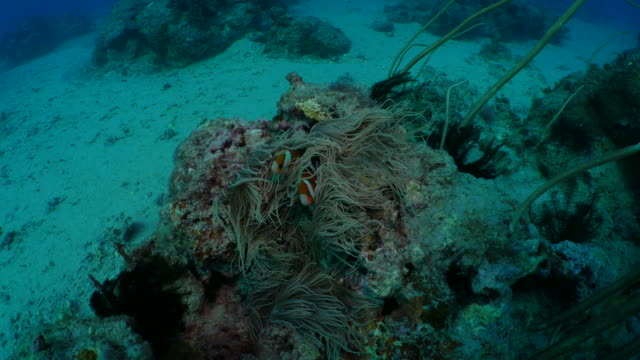 Sea anemone and clownfish in strong current