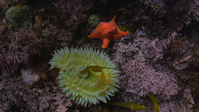 sea anemone and star fish in sea over coral reef - monterey, california - sea anemone stock videos & royalty-free footage