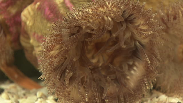 sea anemone cohabiting with hermit crab - sea anemone stock videos and b-roll footage