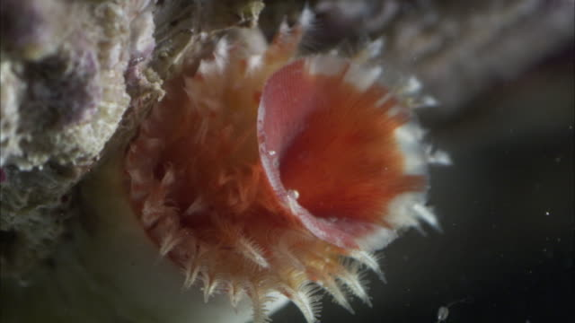a sea anemone extends a tentacle. - seeanemone stock-videos und b-roll-filmmaterial