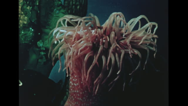 sea anemone, loosening its hollow tentacles, fish swimming in against tentacles , tentacles folding over, one holding fish, closing up, fish trying... - sea anemone stock videos & royalty-free footage