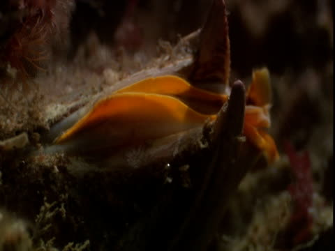 a sea anemone tentatively reaches for passing plankton. - anacortes stock videos & royalty-free footage