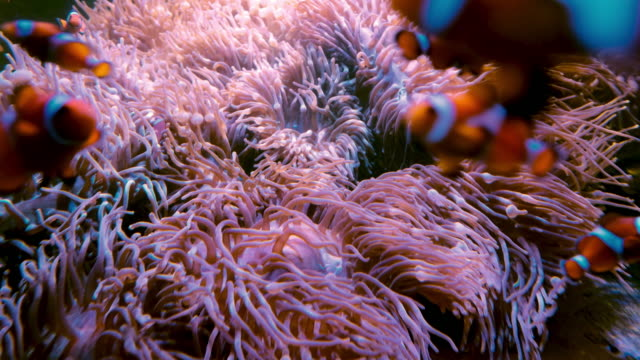 sea anemone underwater - sea anemone stock videos and b-roll footage