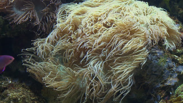 MS, Sea anemones and tropical fish in aquarium, Toronto, Canada