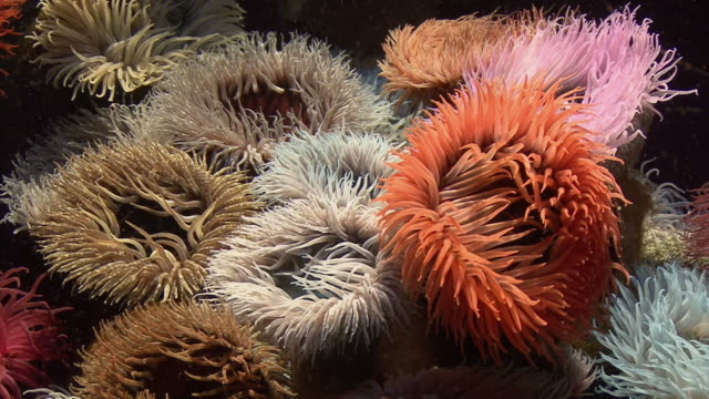 cu sea anemones in aquarium / capetown, south africa - sea anemone stock videos & royalty-free footage