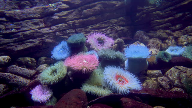sea anemones in aquarium - scenario de lisboa oceanarium / lisbon, portugal - sea anemone stock videos & royalty-free footage