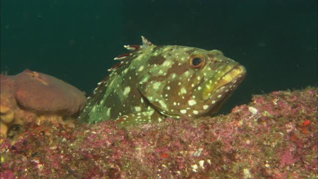 Sea Bass, Flag Cabrilla, Macro, Mexico
