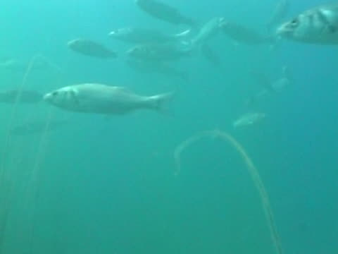 sea bass small shoal as swim, shot from below - small group of animals stock videos & royalty-free footage