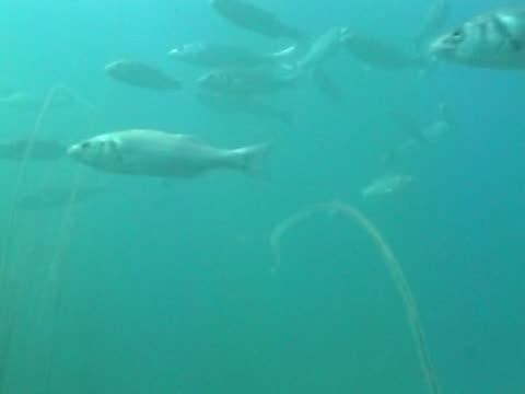 sea bass small shoal as swim, shot from below - 少於10秒 個影片檔及 b 捲影像