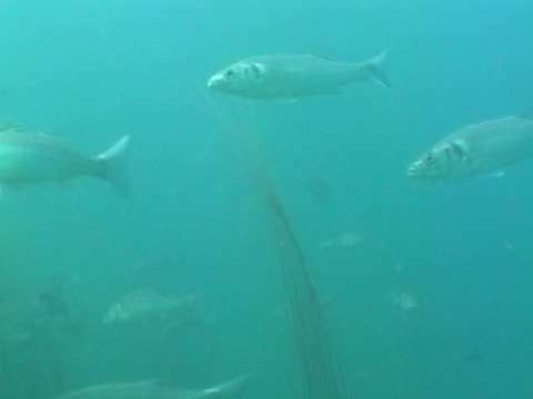 sea bass small shoal as swim - small group of animals stock videos & royalty-free footage
