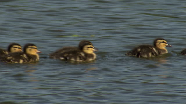 a sea bird and her ducklings sweden. - following stock videos & royalty-free footage
