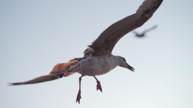 seevogel - tierflügel stock-videos und b-roll-filmmaterial