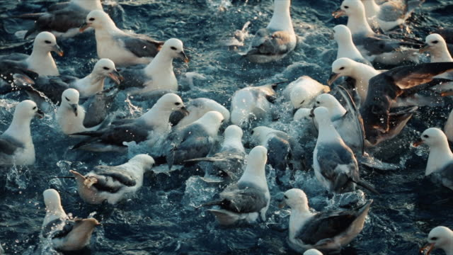 sea birds: competition fighting feeding frenzy behavior - undersea stock videos & royalty-free footage