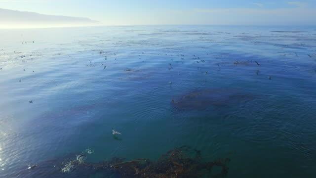 sea birds feeding over kelp forest aerial - seaweed stock videos & royalty-free footage