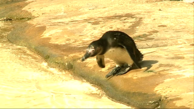 first egg at penguin beach exhibit at london zoo england london london zoo penguin beach ext top shot of keeper picking up humboldt penguin in nest... - flightless bird stock videos & royalty-free footage