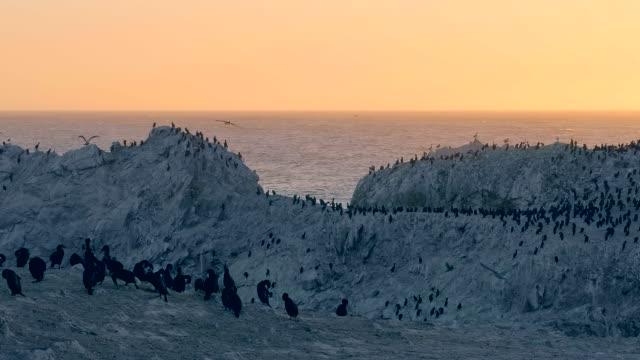 seevögel, die an der nordpazifikküste nisten. - pelikan stock-videos und b-roll-filmmaterial