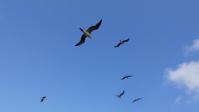 vídeos y material grabado en eventos de stock de aves marinas, piqueros de patas rojas - alcatraz patirrojo