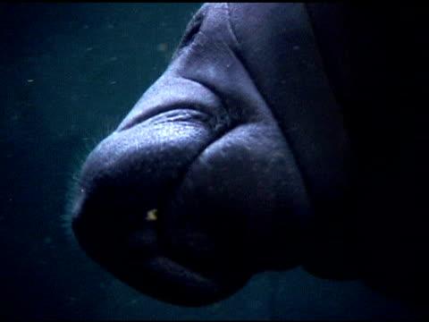 Sea Cow swimming in Acuarium